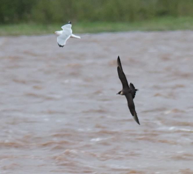 Parasitic Jaeger adult light morph chasing Ring-billed Gull Wisconsin Pt. Bayside Superior WI IMG_1902.jpg