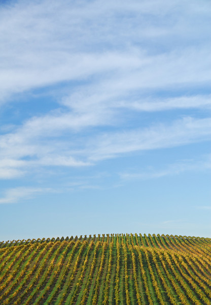 Rows of vineyards cresting a hill on an autumn morning in Napa Valley