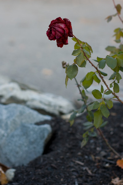 A lone rose, fighting the march towards winter.