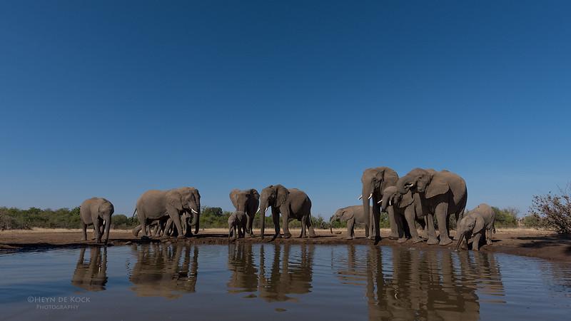 African Elephant, Mashatu GR, Botswana, May 2017-33.jpg