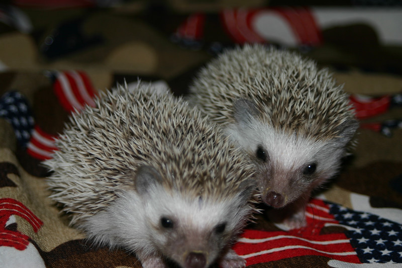 Litter - SCSI and Orianna (02/03/2005)  Litter - SCSI and Orianna (02/03/2005)  Filename reference: 20050306-235843-HAH-Hedgehog_Babies