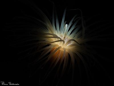 Pachycerianthus fimbriatus (tube-dwelling anemone)