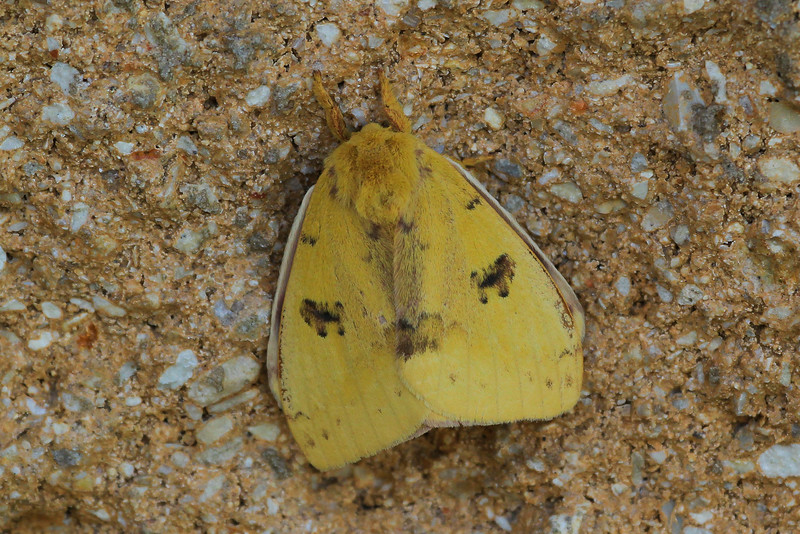 zAnahuac 8-21-14, Old T3i, 007A, yellow moth (1 of 1).jpg