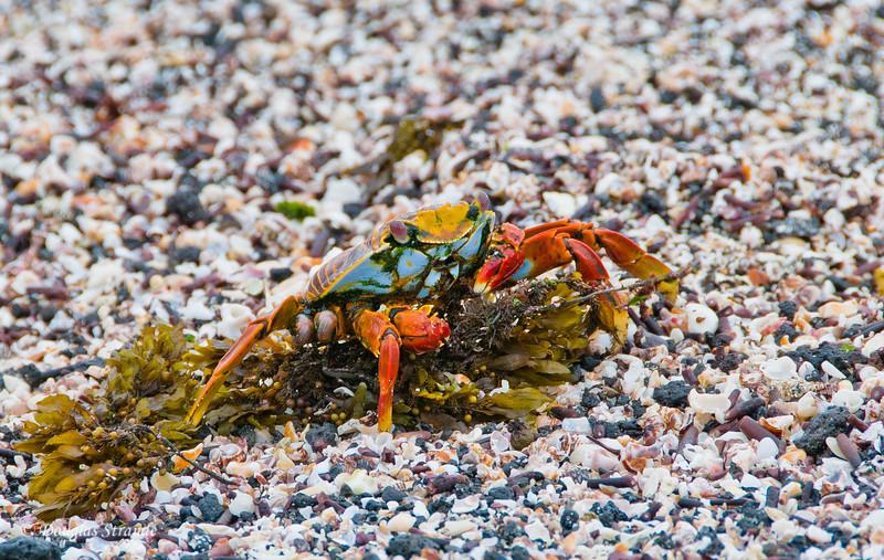 Sally Lightfoot Crab having an algae lunch
