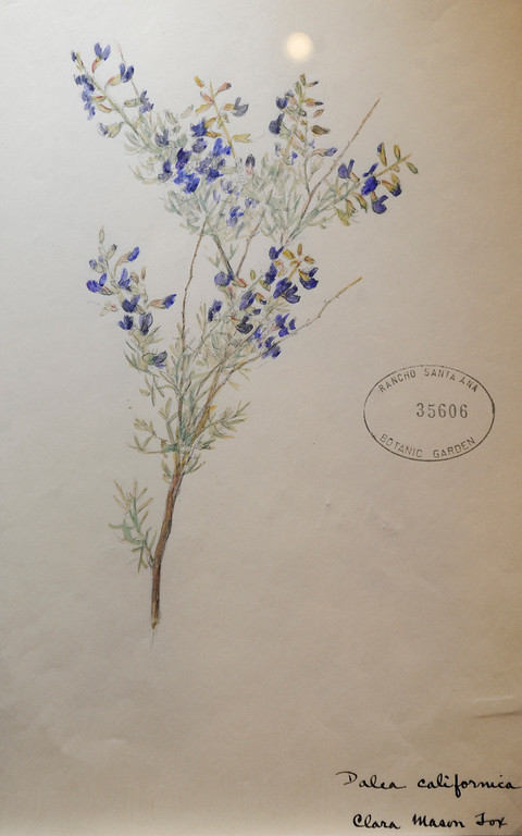 ". This Mojave Indio Bush was painted by Clara Mason Fox, 1873- 1959. ""When they were wild,\"" is the Huntington Library\'s new Wildflower exhibition which kicks off a month of talks, workshops and wildflower sales. San Marino, CA 3/8/2013(John McCoy/Staff Photographer)"