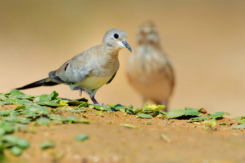 Namaqua dove female