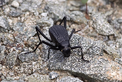 Pitted Beetle