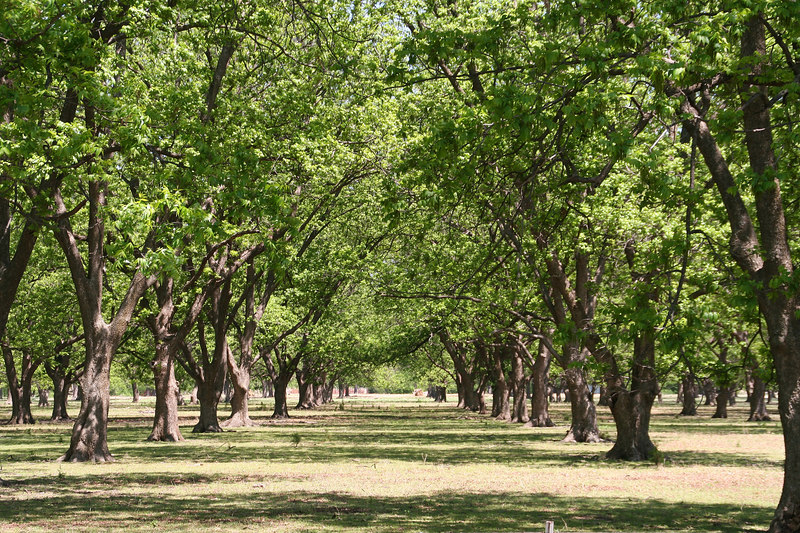 Pecan grove north of Main on 4th Street