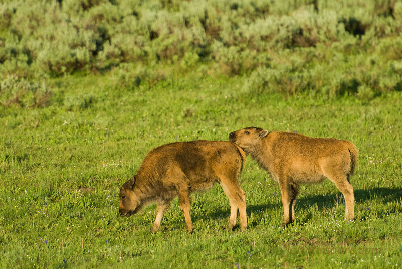 Bison calves in Yellowstone National Park