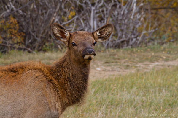 young elk, peering out, curious