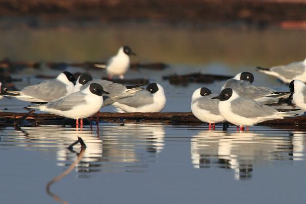 Gulls,Terns