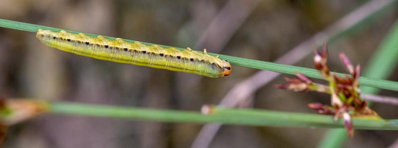 C'est le nombre de fausses-pattes qui permet de différencier les fausses-chenilles des chenilles de papillons. Les premières possèdent de 6 à 9 paires de fausses-pattes, tandis que les secondes possèdent moins de 6 paires de fausses-pattes