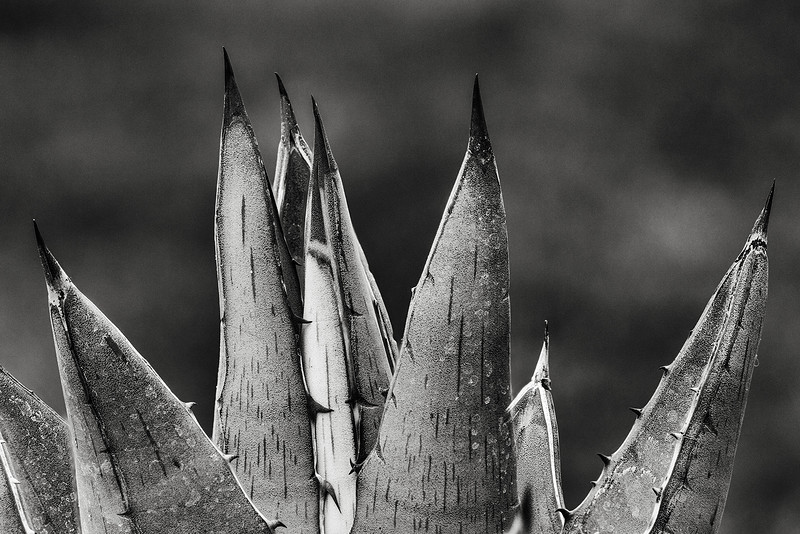 agave-pumila-02.jpg