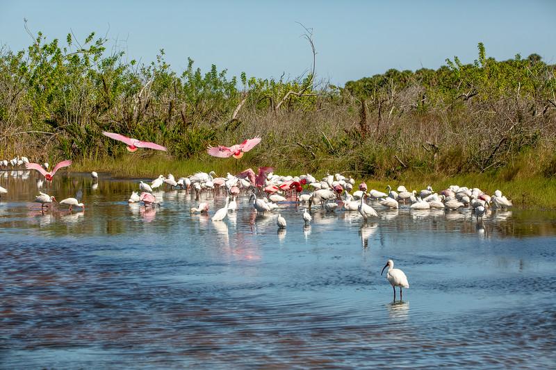 Ibises, Egrets, Roseate Spoonbills