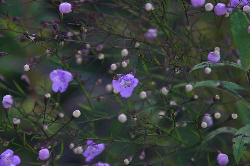 Agalinus purpurea.JPG