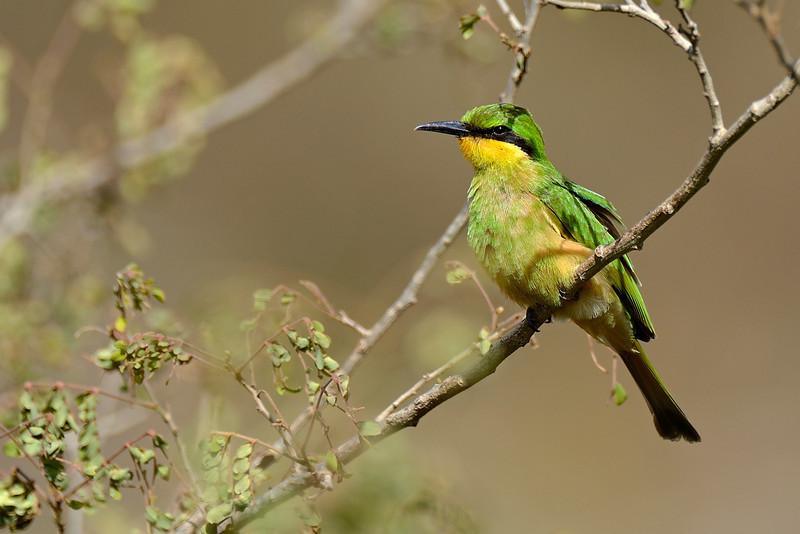 Bee-eater-Serengeti.jpg