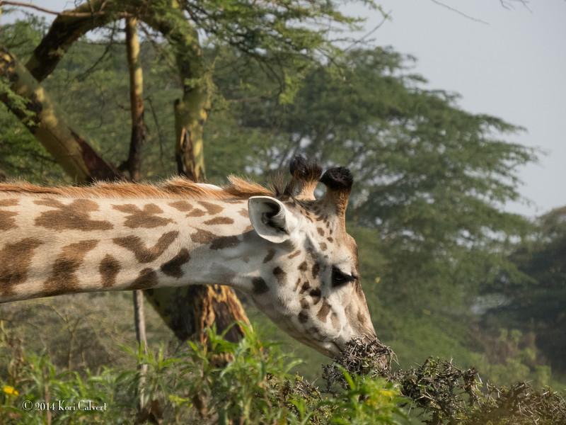 GiraffesK-4.jpg