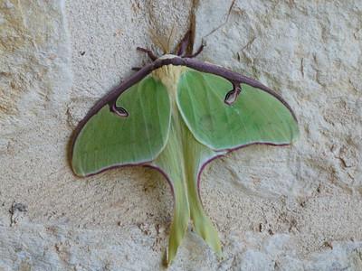 Moths--maxi