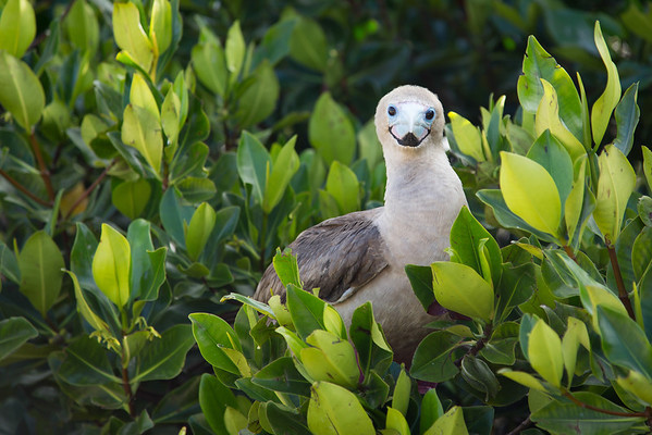 Red-Footed Boobie, Galapagos Islands, Ecuador