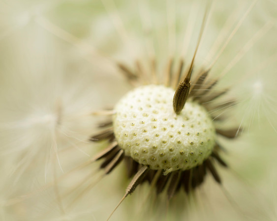 dandelions & fluff