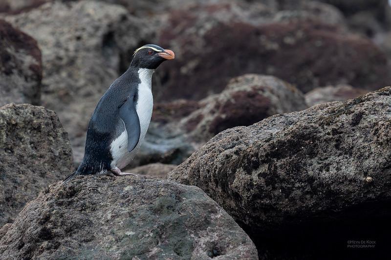 Fiordland Crested Penguin, Haast, SI, NZ, Aug 2018-4.jpg