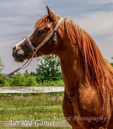CMK Arabians