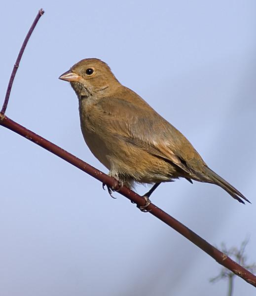 Indigo Bunting  Fall plumage