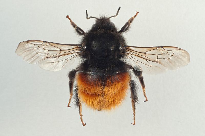 Bombus monticola -dronning, Melhus/Skaun 26.05.10