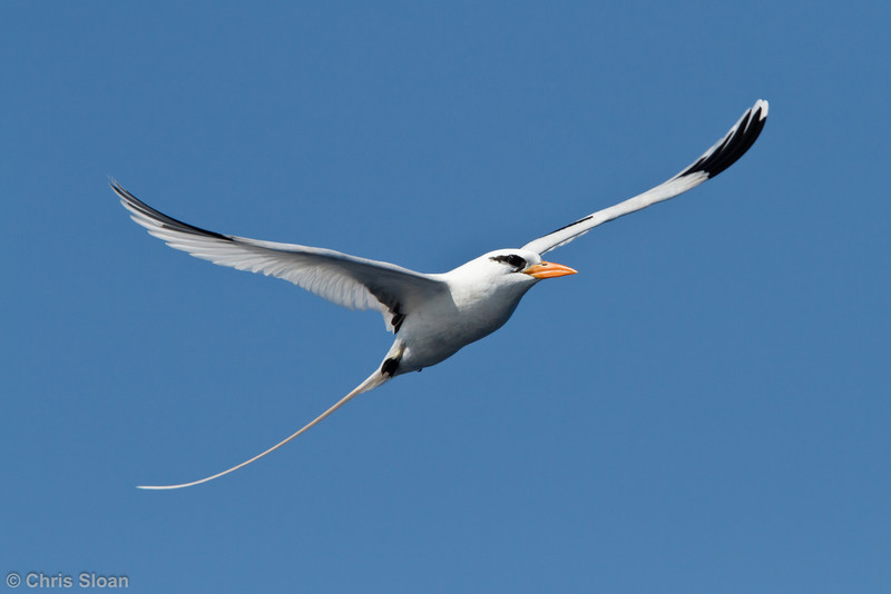 White-tailed Tropicbird third summer at pelagic trip off Hatteras, NC (05-30-2011) - 637.jpg