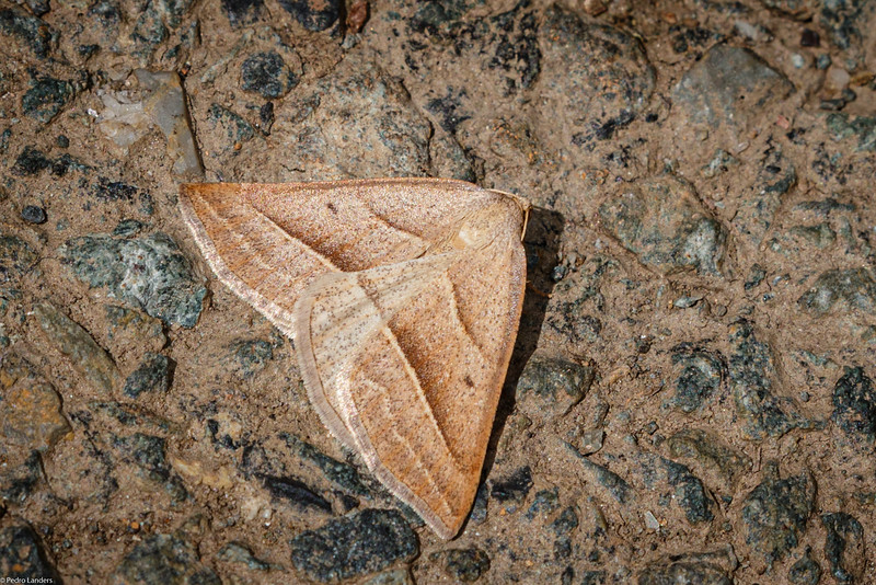 Brown Silver-line Moth