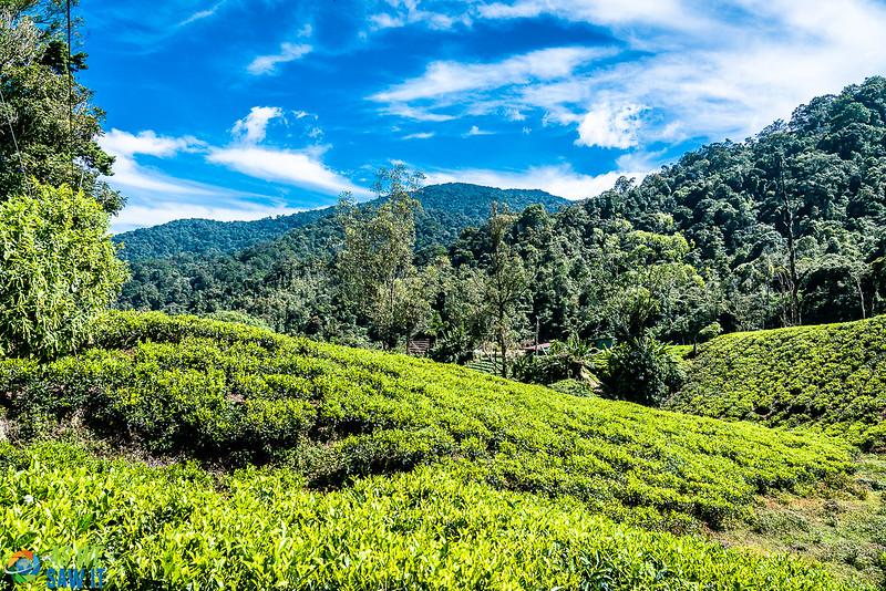 BOH-Tea-Plantation-08547.jpg