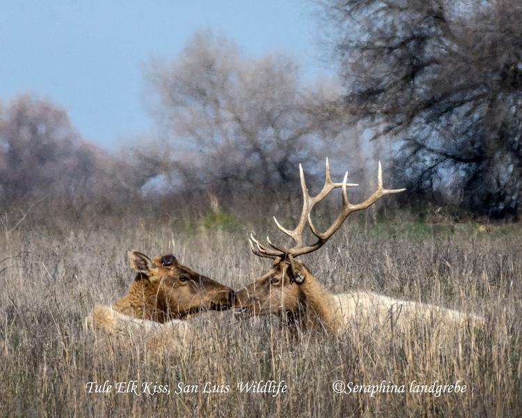 _DSC9098The Kiss Tule Elk.jpg