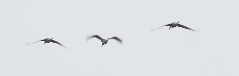 Sandhill Crane motion blur panning flight Crex Meadows Grantsburg WI IMG_0256.jpg