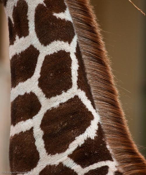 Reticulated Giraffe, Calgary Zoo Jan. 31