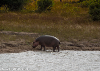 Hippo - Kruger National Park