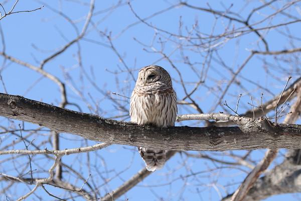 Barred Owl 030819
