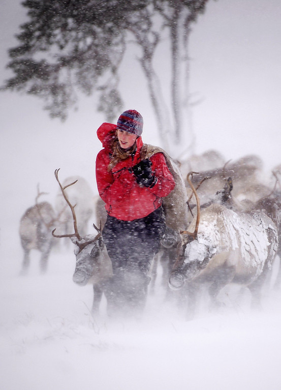 . Eve Grayson, a Reindeer herder at the Cairngorm Herd, feeds the deer on December 23, 2013 in Aviemore, Scotland.  (Photo by Jeff J Mitchell/Getty Images)