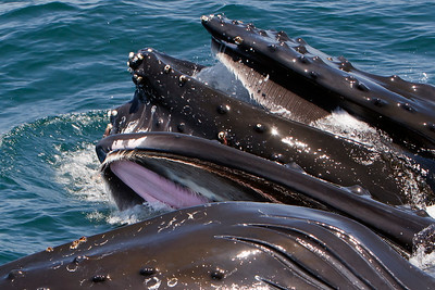 Humpback whales - lunge feeding activity