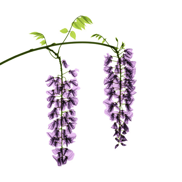 Wisteria X-Ray - Colorized on White.jpg