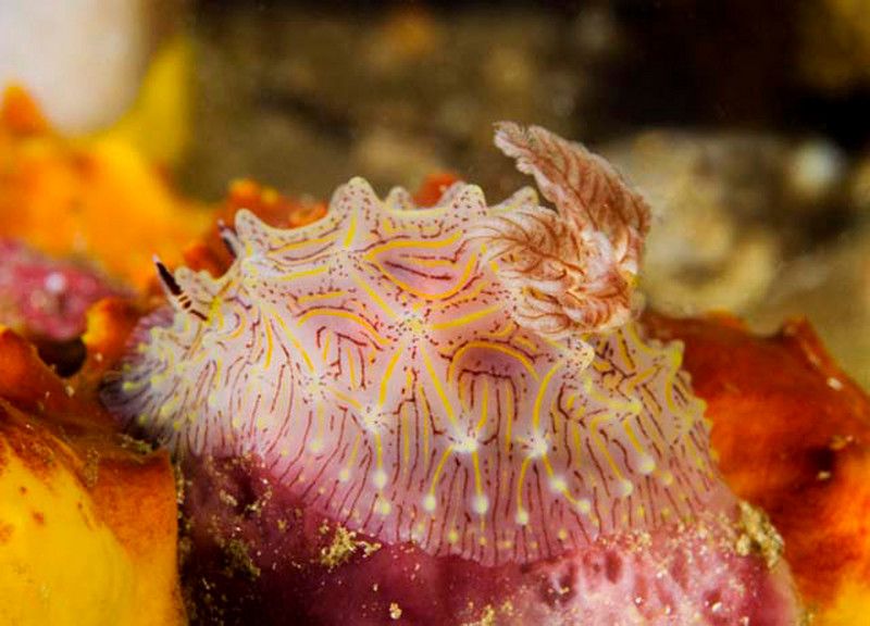 nudibranch halgerda willeyi.jpg