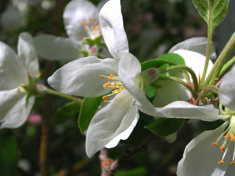 white bloom82.JPG