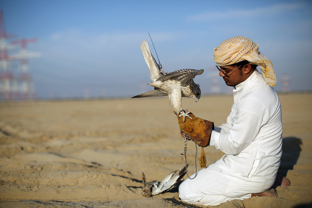 . A Falcon is fed after being attracted to a lure during an evening training session on February 3, 2015 in Abu Dhabi, United Arab Emirates. (Photo by Dan Kitwood/Getty Images)