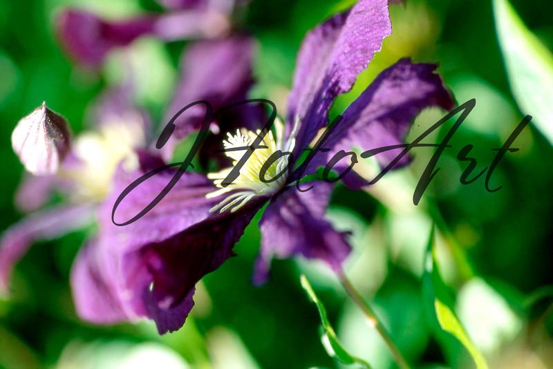 purple clematis 802.jpg