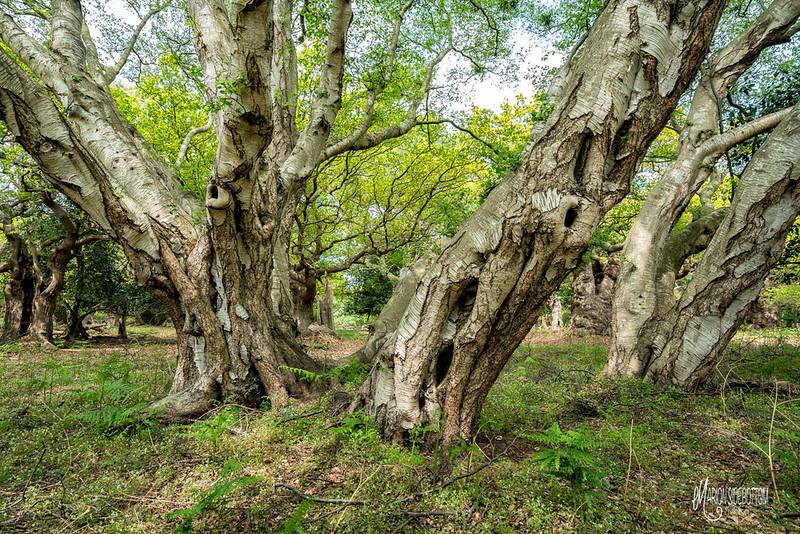 Staverton Park, Suffolk