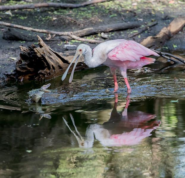 Spoonbill Alligator-7233.jpg