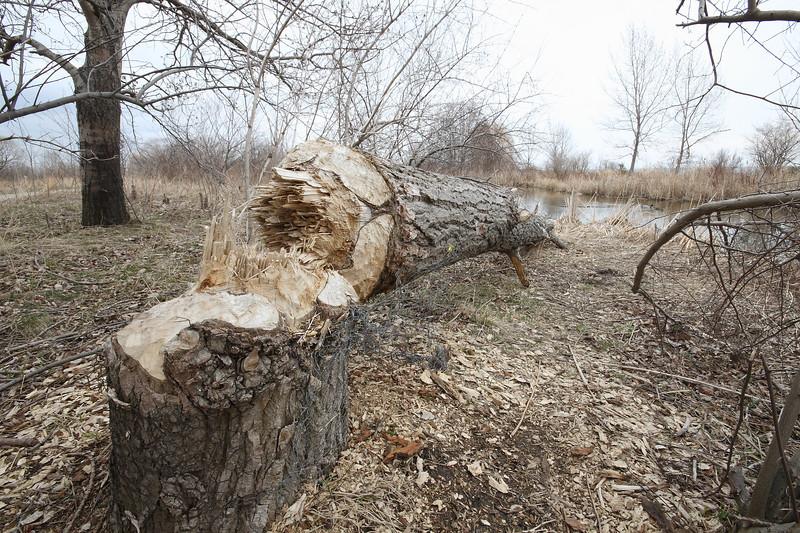 The Beavers Were Busy Again