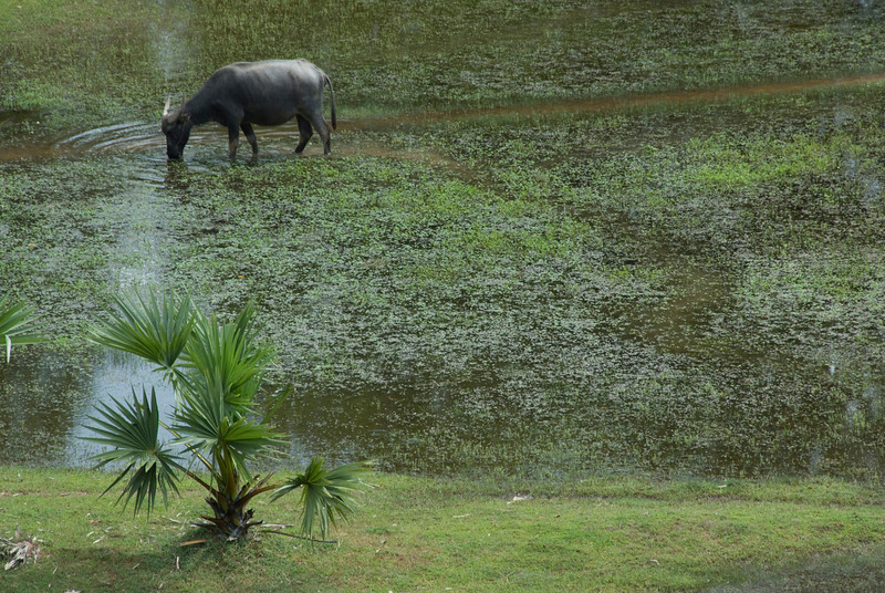 Water Buffalo on a rice field near Angkor Wat