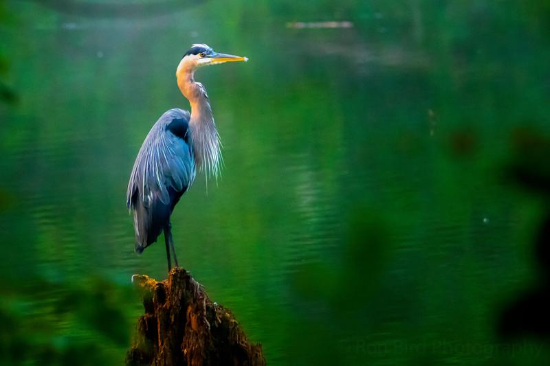 7.22.21 - Old Prairie Creek Arm - Great Blue Heron