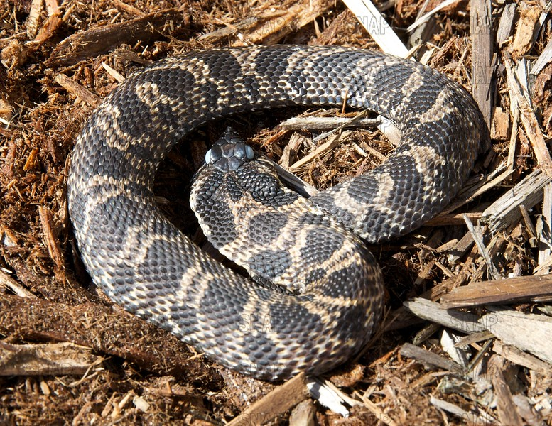 Eastern Hognose Snake