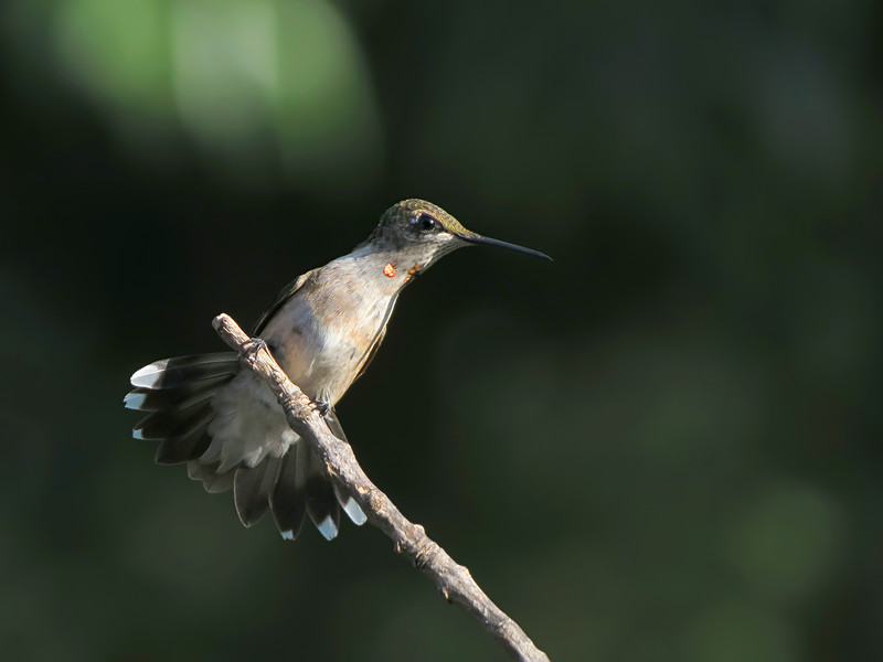 sx50_hummingbird_boas_012.jpg